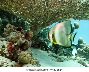 Spadefish (Platax) under Table Coral, Marsa Shouna North, Red Sea, Marsa Alam, Egypt