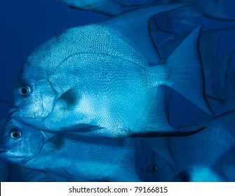 Spadefish swimming in open water above an artificial reef.