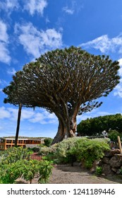 Spain, Canary Islands, Tenerife, biggest dragon tree in Icod de lod Vinos
