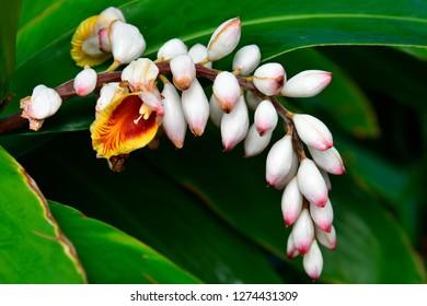 Spain, Canary Islands, Tenerife, blossom of Alpinia zerumbet aka Shell Ginger