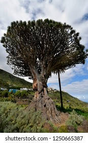 Spain, Canary Islands, Tenerife, oldest dragon tree in Icod de los Vinos
