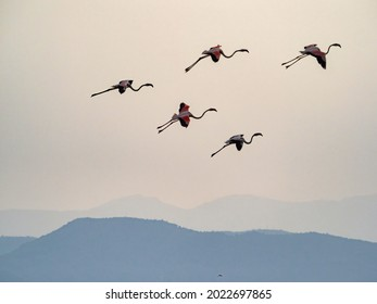 Málaga, Spain - July 11, 2021: A flock of flamingos is approaching at the mouth of the Guadalhorce River.