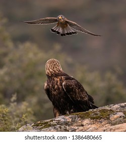 In Spain I managed to photograph the Golden Eagle - Sitting on a branch, flyiging, mantling, screaming - great experience
