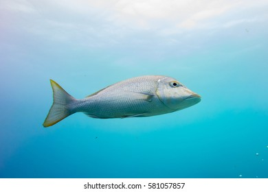 Spangled emperor (Lethrinus nebulosus) swimming on the Great Barrier Reef.