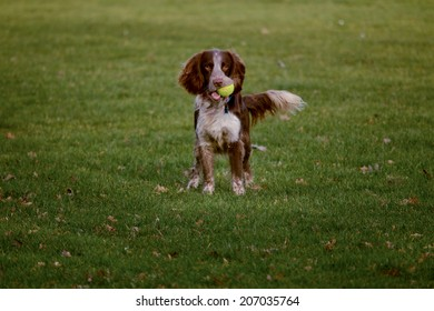 Spaniel with ball in mouth