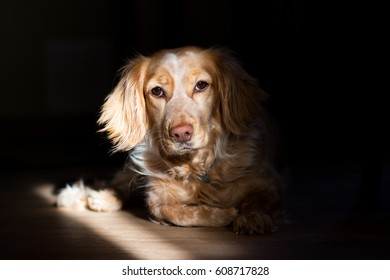 Spaniel in the beam of sunlight from the window