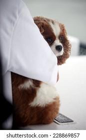 Spaniel dog hugged by owner.