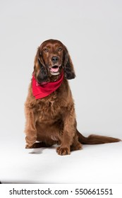 A spaniel dog, isolated on a white seamless wall in a photo studio.