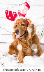 Spaniel Dog wearing Christmas costume. Year of the dog concept