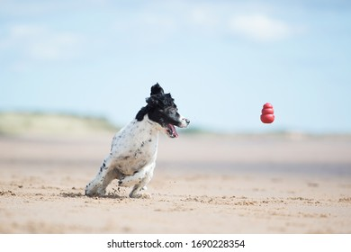 Spaniel running at the beach and park