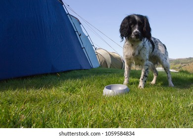 Spaniel waiting by empty food bowl on campsite.