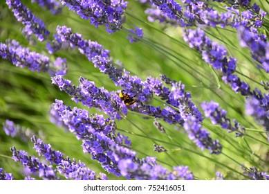 Lavendelblüte in Spanien