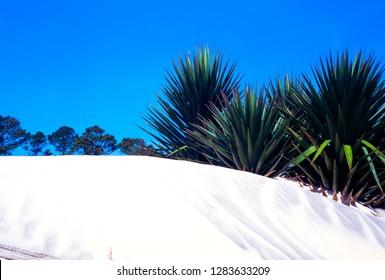 Spanish Bayonet, sand on Blackbeard Island, Georgia, USA