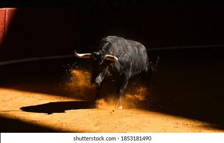 Spanish black  bull with big horns running