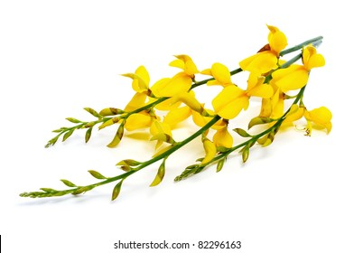 Spanish Broom Images Stock Photos Vectors Shutterstock