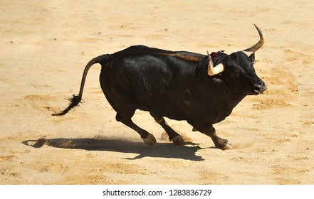 spanish  bull with big horns running in the bullring