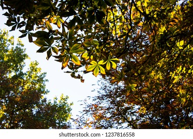 Spanish chestnut green, brown and yellow leafs in beautiful bright sunny lights in the park of Madrid in Spain. Sunny mood.