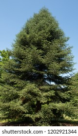 Spanish Fir Tree (Abies pinsapo) with a Bright Blue Sky Background in a Woodland Garden in Rural Devon, England, UK