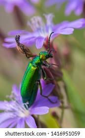 Spanish fly on flower closeup