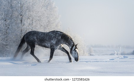 Spanish gray horse walks on freedom at winter time. Side view.