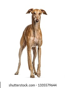 Spanish greyhound, 6 years old, in front of white background