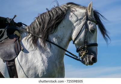 Spanish Horse Portrait
