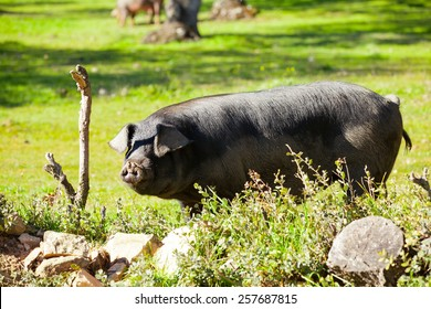 Spanish iberian black pig pasturing in the countryside