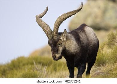 Spanish ibex, Spain