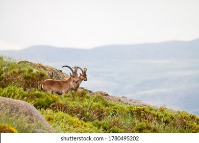 Spanish Ibexes in the mountain