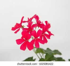 Spanish ivy geranium with scarlet- red flowers, Geranium Peltatum, Ivy-leaf geranium, Hanging geranium