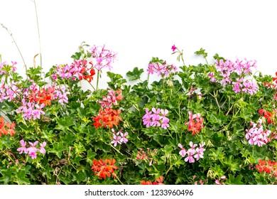 Spanish ivy geranium with scarlet- red flowers, Geranium Peltatum, Ivy-leaf geranium, Hanging geranium / Red garden flowers , close up shot