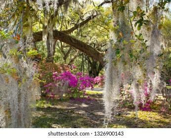 Spanish Moss in  beautiful garden with azaleas flowers blooming under oak tree.  Magnolia Plantation and Gardens, Charleston, South Carolina.