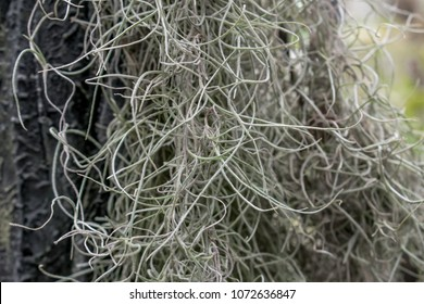 Spanish moss close up. Grey natural background. Long moss macro