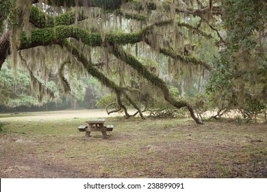 Spanish Moss covered trees with a picnic table in a mist, from Cumberland Island, Georgia, USA