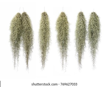 Spanish Moss, Grandpas Beard isolated on white background.