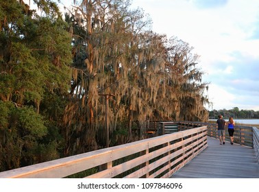 Spanish moss growing on trees along the boardwalk at Palm Island Park in Mount Dora, Florida, USA.