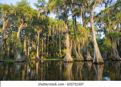 Spanish moss hanging from bald cypress trees catches the morning sun in a scenic view of Caddo Lake, the swamp on the Texas-Louisiana border