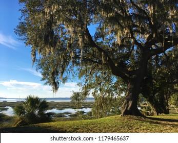 Spanish moss hanging in an oak tree in Beaufort, South Carolina