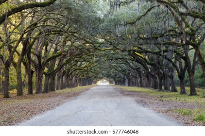 Spanish moss hangs in abundance from large oak trees lining picturesque Oak Avenue at the Wormsloe historic site in Savannah, Georgia.