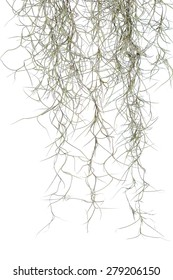 Spanish moss isolate on white