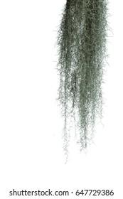 Spanish moss isolate on white background.