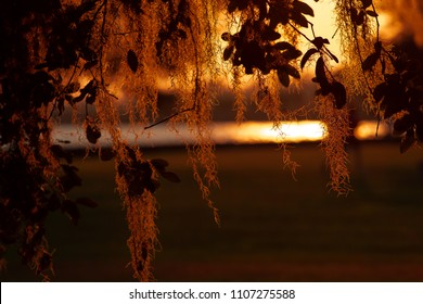 Spanish Moss in a Louisiana Live Oak Tree during sunset