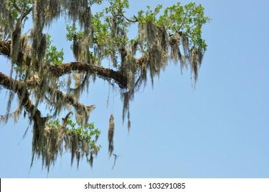 Spanish Moss On Louisiana Live Oak Tree Branches