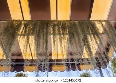 Spanish moss or Scientific name: Tillandsia Usneoides. Plants that absorb water from the air that is moist, Hanging under the awning to cover the sun, curtain replacement.