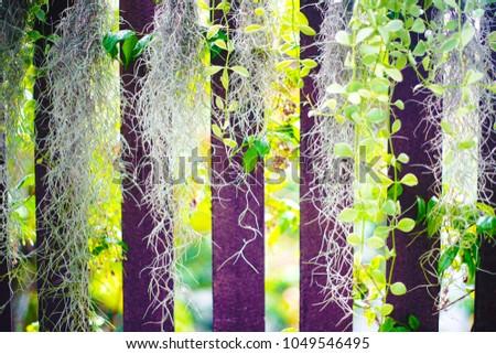 spanish moss tillandsia usneoides epiphytic flowering stock photo