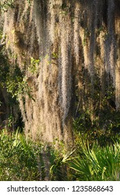 Spanish Moss (Tillandsia usneoides) grows thick in the forest of central Florida