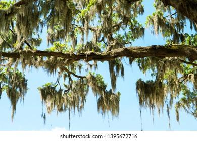 Spanish Moss, in the Trees of Savannah Georgia, Wetlands and Swamp