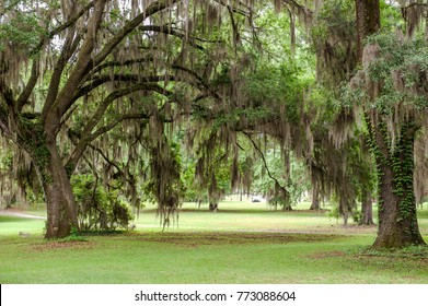 Spanish Moss.Tillandsia In Central Park,Tallahassee Florida.