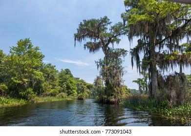 Spanish Moss,Tillandsia in Wakulla Spring Park.Florida.