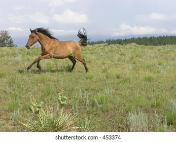 Spanish Mustangs in Gallop